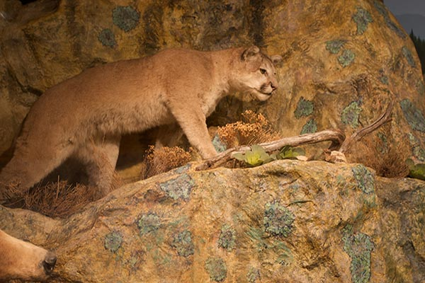 Mountain Lion at Museum of Natural History